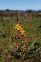 haemodoraceae-wachendorfia_paniculata.jpg