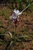 hyacinthaceae-chlorophytum_sp.jpg