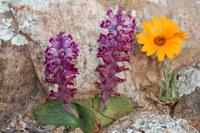hyacinthaceae-lachenalia_cf_carnosa.jpg