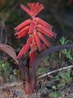 hyacinthaceae-lachenalia_rubida.jpg