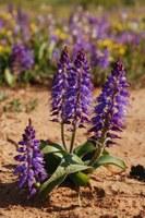 hyacinthaceae-lachenalia_sp.jpg