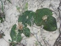 hyacinthaceae-massonia_pustulata.jpg