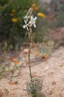 hyacinthaceae-tenicroa_multifolia.jpg