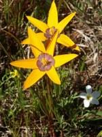 hypoxidaceae-spiloxene_capensis.jpg