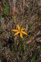 hypoxidaceae-spiloxene_serrata.jpg