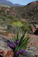 iridaceae-babiana_dregei.jpg