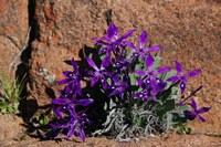 iridaceae-babiana_flabellifolia.jpg