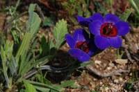 iridaceae-babiana_rubrocyanea.jpg