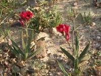 iridaceae-babiana_villosa.jpg