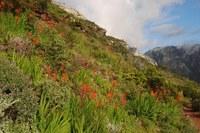 iridaceae-chasmanthe_aethiopica.jpg