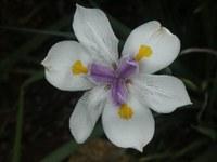 iridaceae-dietes_grandiflora.jpg