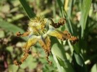iridaceae-ferraria_divaricata.JPG