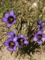 iridaceae-geissorhiza_splendidissima.jpg