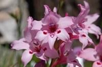 iridaceae-gladiolus_carneus.jpg