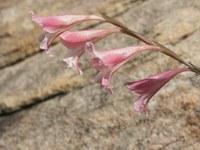 iridaceae-gladiolus_caryophyllaceus.jpg