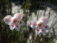 iridaceae-gladiolus_debilis.jpg