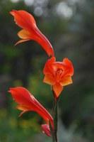 iridaceae-gladiolus_huttonii.jpg