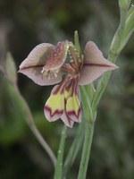 iridaceae-gladiolus_orchidiflorus.jpg