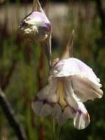 iridaceae-gladiolus_patersoniae.jpg