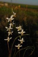 iridaceae-hesperantha_bachmanii.jpg