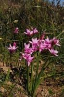 iridaceae-hesperantha_pauciflora.jpg
