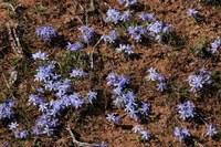 iridaceae-lapeirousia_montana.jpg