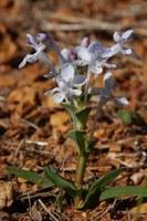 iridaceae-lapeirousia_pyramidalis.jpg