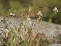 iridaceae-melasphaerula_ramosa.jpg