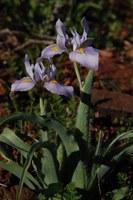 iridaceae-moraea_ciliata.jpg