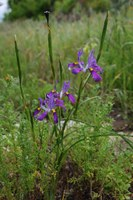 iridaceae-moraea_fugax.jpg