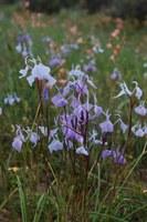 iridaceae-moraea_tripetala.jpg