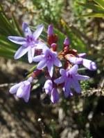 iridaceae-nivenia_cf_corymbosa.jpg