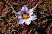 iridaceae-romulea_atrandra.jpg