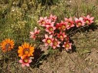 iridaceae-romulea_eximia_1.jpg