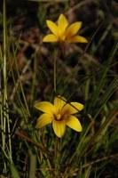 iridaceae-romulea_hirta.jpg