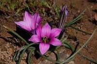 iridaceae-romulea_komsbergensis_2.jpg