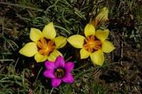 iridaceae-romulea_komsbergensis_romulea_tortuosa.jpg