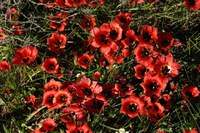 iridaceae-romulea_sabulosa_1.jpg