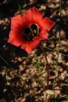 iridaceae-romulea_sabulosa_2.jpg