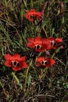 iridaceae-romulea_sabulosa.jpg
