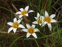 iridaceae-romulea_schlechteri.jpg