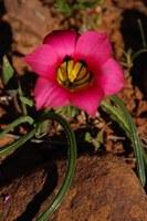 iridaceae-romulea_subfistulosa.jpg
