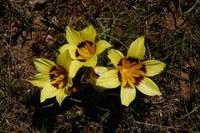 iridaceae-romulea_tortuosa.jpg