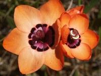 iridaceae-sparaxis_elegans_1.jpg