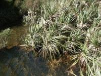 juncaceae-prionium_serratum.jpg