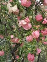 meliaceae-nymania_capensis_1.jpg