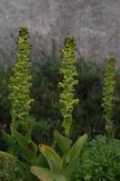 orchidaceae-satyrium_odorum.jpg