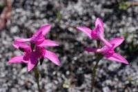 orchidaceae-schizodium_obliquum_1.jpg