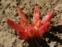 orobanchaceae-hyobanche_glabrata.jpg