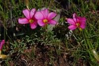 oxalidaceae-oxalis_cf_glabra.jpg